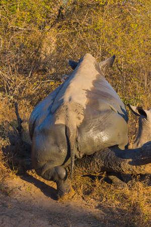 White rhino scratching ticks off after mud bath Stock Photo