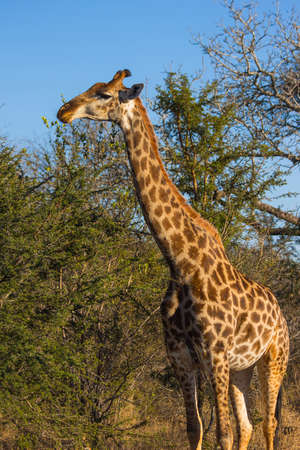 Giraffe eating at the tops of trees Stock Photo