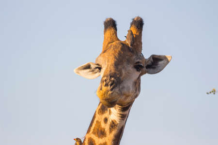 Giraffe with oxpeckers on it