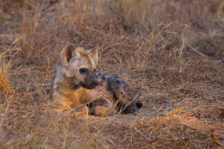Resting hyena pup in the wild