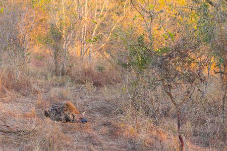 Sleeping hyena adult in the wild