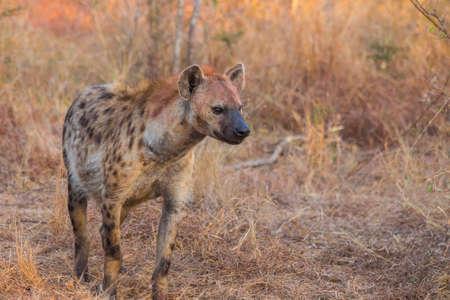 Alert hyena adult