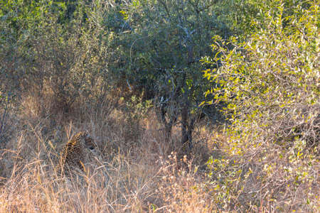 Leopard camouflaged in long grass in the wild