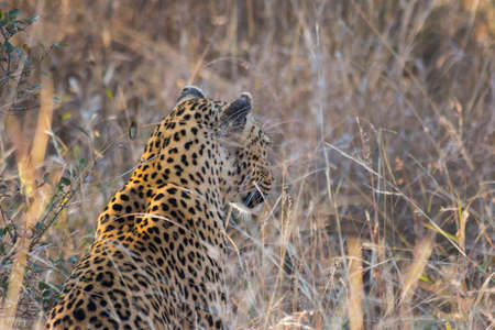 Side profile of a leopard in long grass