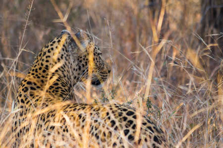 yala: Side profile of a leopard in long grass