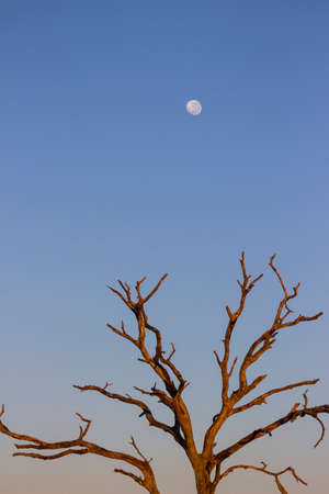 Early morning lighting up a dead tree with the moon in the background Stock Photo