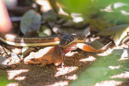 Small sand snake catching and eating a frog