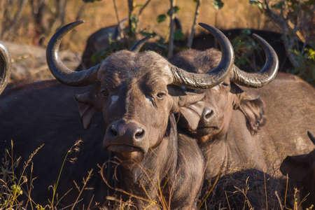 Adult buffalo portrait Stock Photo