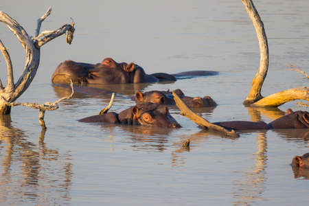 Pod of hippos relaxing in a dam in the late afternoon sun