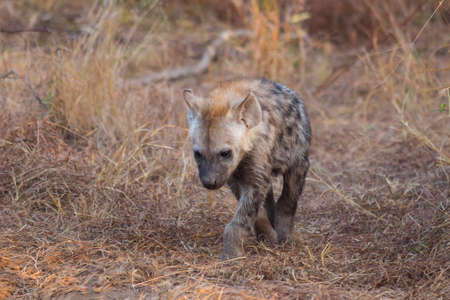 Hyena pup slowing walking forwards in the wild
