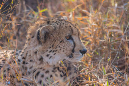 Cheetah relaxing in long grass in the wild
