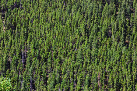 A mountainside full of green pine trees Stok Fotoğraf - 16101419