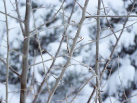 Exposed Thorns of Winter