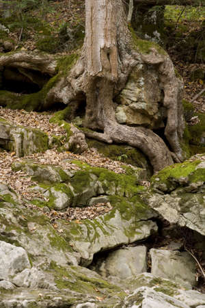 gnarled: Gnarled tree roots envelope rocks in the rural country side