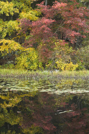 Maple tree and pond lilly pads make up this fall forest image. Stock Photo