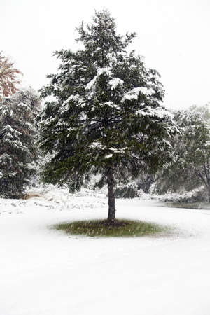 The first snow fall of the winter season covers the branches of a pine tree but not yet the ground underneath it. The snow continues to fall.