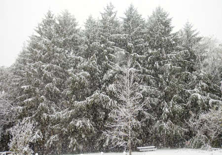 The first snow fall of the season blankets towering pine trees and park tables Stock Photo