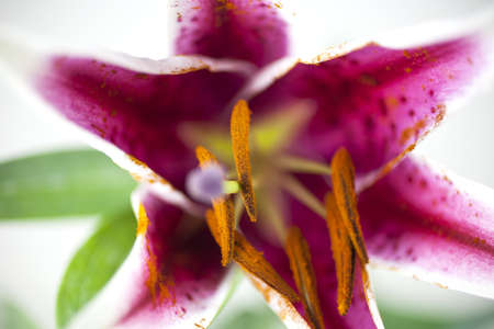 stamin: Macro close up of a Tiger Lily flower. The Tiger Lily symbolizes wealth and pride. In the image are the stamin (orange) and the pistil (purple) and a lot of pollen (orange dust).