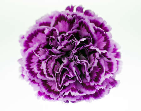 Close-up macro of a purple carnation Stock Photo