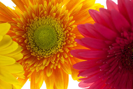 Close up of an orange gerbera daisy, behind two other gerberas.
