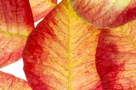 An abstract composition of red and yellow poinsettia leaves.