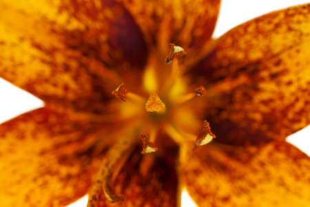 Looking down on the inside of the flower, the lily. Showing the pistils, stamen and pollen.