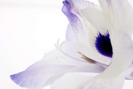 Profile view of a gladiola flower with stamen and pistils as well as plenty of copy space photo