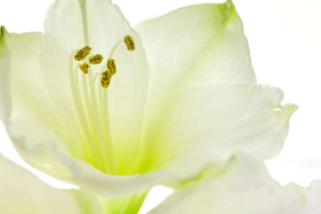 Macro close up of the inside of a white lily