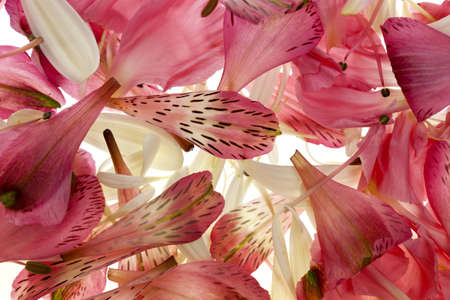 floral abstraction, alstroemria, gerbera daisy and carnation petals
