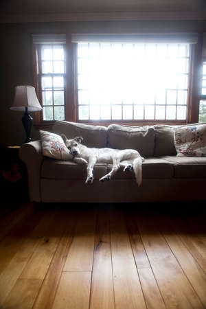 The family dog makes herself very comfortable on the living room couch  Stock Photo