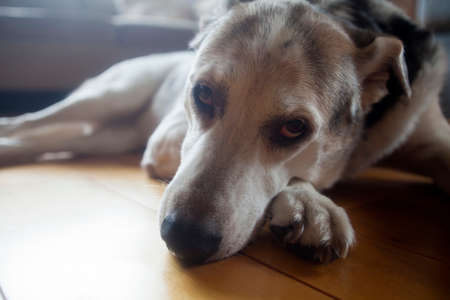 Close up head of an old dog lying in a sunlite room Stock Photo