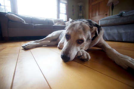 Tired old dog resting in the middle of the living room floor