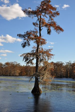 bayou swamp: One lone cypress in the middle of the water