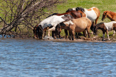 A herd of horses with foals drink water from the pond and frolic. Bashkiria.