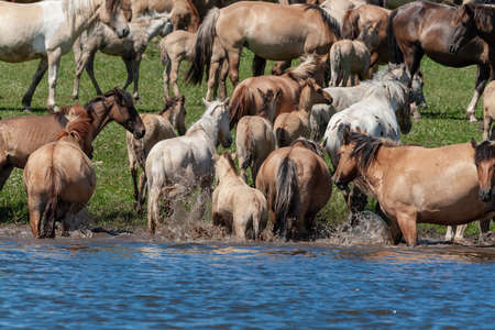 Horses frolic in the pond. Horses at the site of watering. Bashkiria. Stock Photo