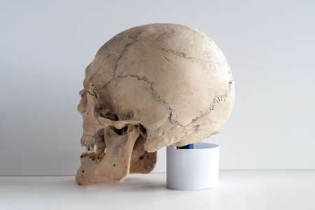Anatomy of an adult human skull. Rear view-side.
