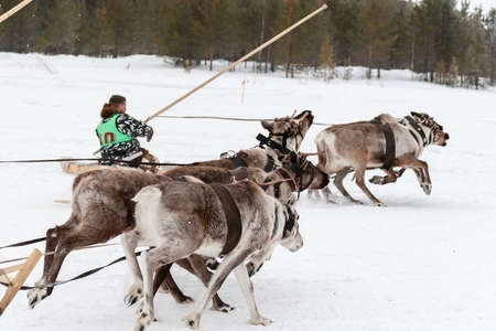 Settlement Russkinskaya, Surgut, Russia, 03/23/2019: An open traditional holiday of the peoples of Siberia. Feast of reindeer herders and fishermans. Dynamic moment of deer racing.