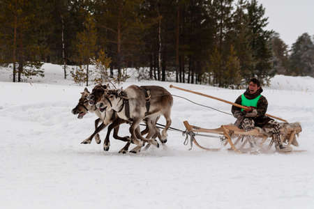 Russkinskaya, Surgut, Russia, 03/23/2019: open traditional holiday of reindeer herders and fishermen, indigenous peoples of Siberia. Northern aboriginal rides on a reindeer sleigh. Redakční