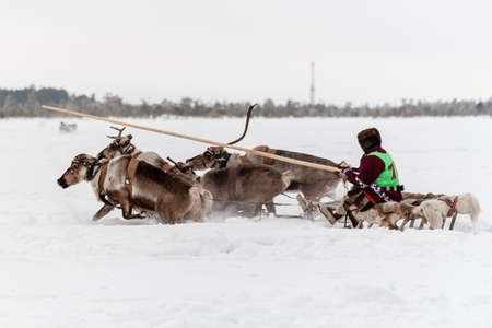Russkinskaya, Surgut, Russia, 03/23/2019: open traditional holiday of reindeer herders and fishermen, indigenous peoples of Siberia. The reindeer team failed right after the start. Редакционное