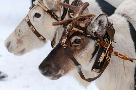 Team of reindeers. Head of a reindeer, close-up. Traditional holiday of the peoples of Siberia.