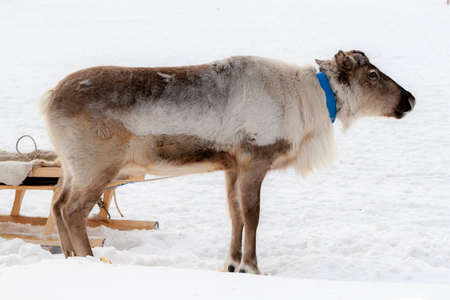Reindeer. Traditional holiday of the peoples of Siberia.