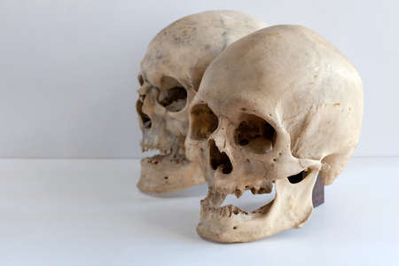 Two human skulls on a light background with a copy of space. Side view. Stock Photo