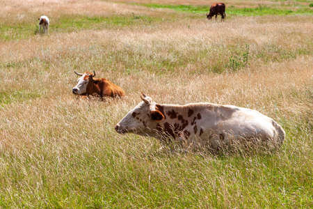 Cows rest in the pasture at noon. Midday nap of cows.