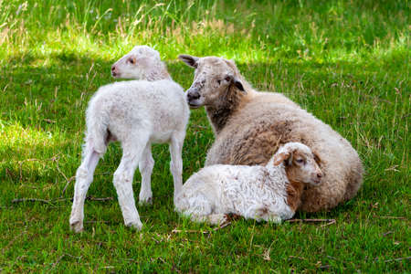 Two white little lambs with their mother look at us curiously. Midday rest.