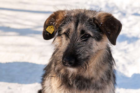 Ufa, Chishmy, Russia, 03.14.2021. Homeless dog on the street with a veterinary vaccine on the ear. Yellow label on the dog's ear.