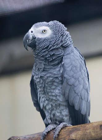 psittacidae: Congo African grey parrot Stock Photo