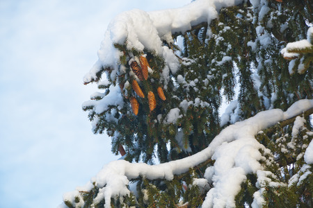 wintering: Spruce in wintering Stock Photo