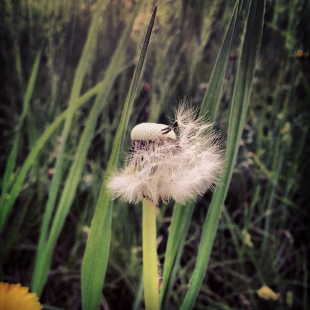 A dandelion seed blowing in the wind.  Reklamní fotografie
