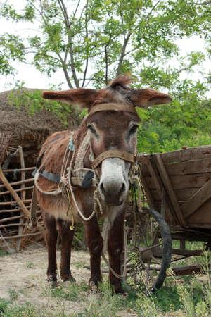 A cute donkey near a wooden cart - shot in Dobrogea, Romania photo