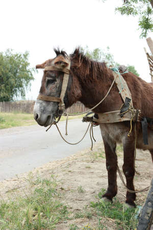 herbivore: A cute donkey near a wooden cart - shot in Dobrogea, Romania